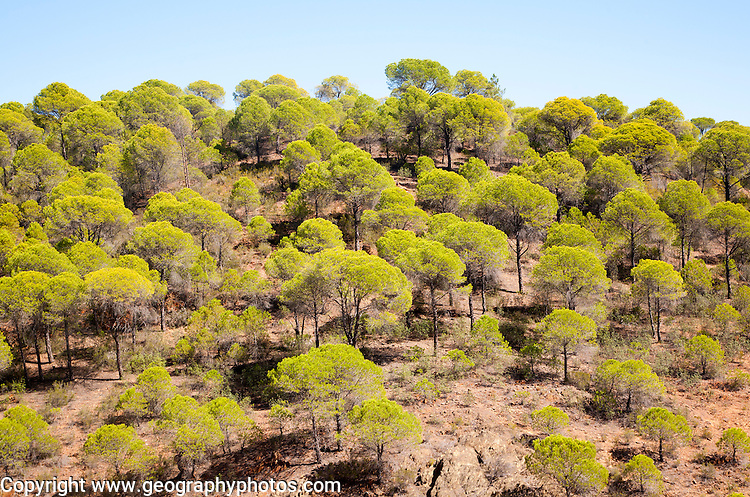 Forest of stone or umbrella pines, Pinus pinea, Rio Tinto river valley, Minas de Riotinto, Huelva, Spain