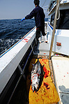 """Tuna fisherman Kanji Nishi casts his line as a freshly caught 15-kg tuna lies on the deck, in the waters off Iki Island, Nagasaki Prefecture, Japan on Thursday 02 April 2009. While most of Japan's tuna is caught by large vessels using nets, Nishi is among just a few hundred fishermen nationwide who practice """"ippon-zuri"""", or rod and line fishing, to catch tuna."""