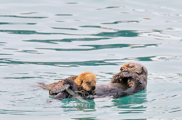 Alaskan or Northern Sea Otter (Enhydra lutris) mother nursing pup