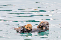 Alaskan or Northern Sea Otter (Enhydra lutris) mother nursing pup