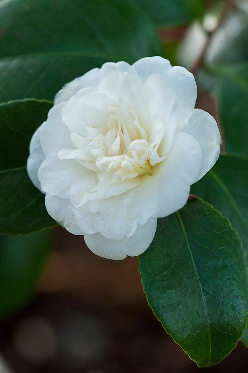 Camellia japonica 'Nobilissima', late February.