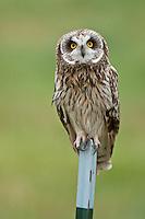 Short-eared Owl on post, Oregon