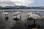 Hot spring appear on the shore of lake Kusharo, due to the volcanic. There stay the swans, between cold and warm water. Lake Kusharo, Akan National Park. Eastern Hokkaido. Japan.
