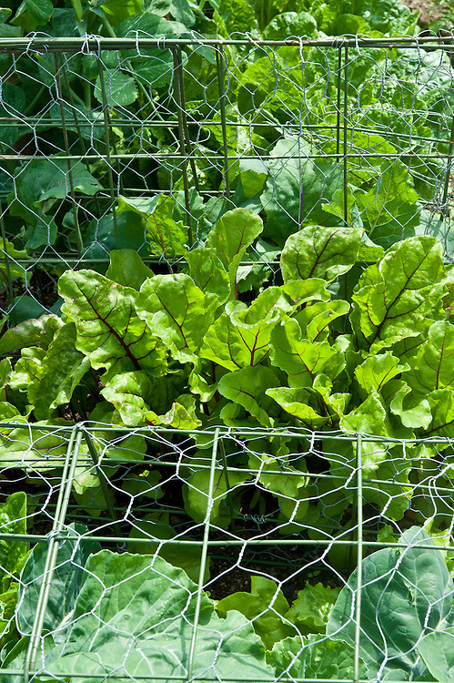 Beetroot 'Detroit 6 Rubidus' and Cauliflower 'All The Year Round' (under wire netting), mid June.
