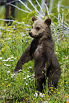 Young grizzly bear cub on hind legs. Yellowstone National Park, Wyoming.