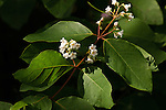 Spreading Dogbane