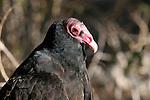 turkey vulture head