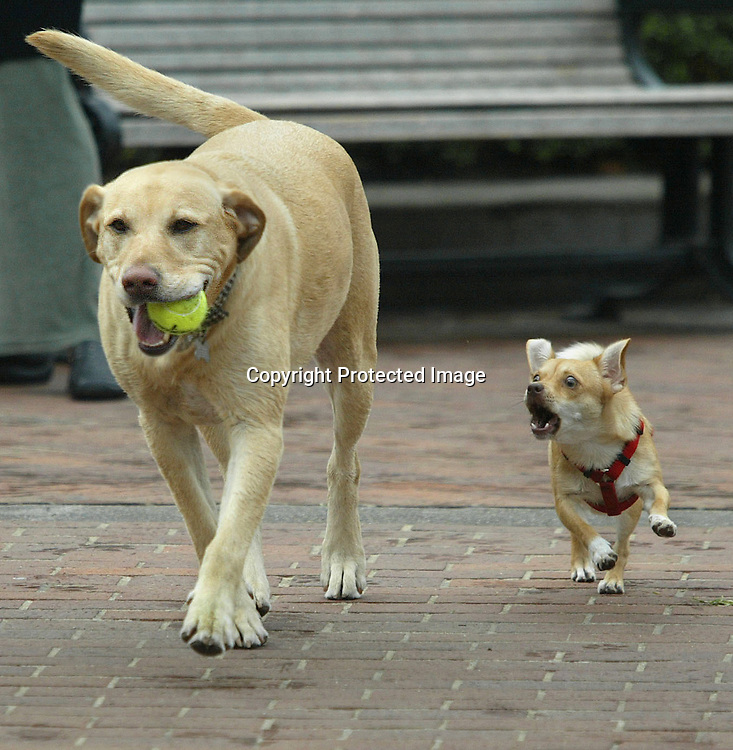"""Sophia"" (right) the under dog seem to be a little upset  at (smiling)  ""Scooter"" the golden retriever because of his advantage in getting the prized tennis ball during their walk at Huntington Park, Nob Hill, San Francisco."