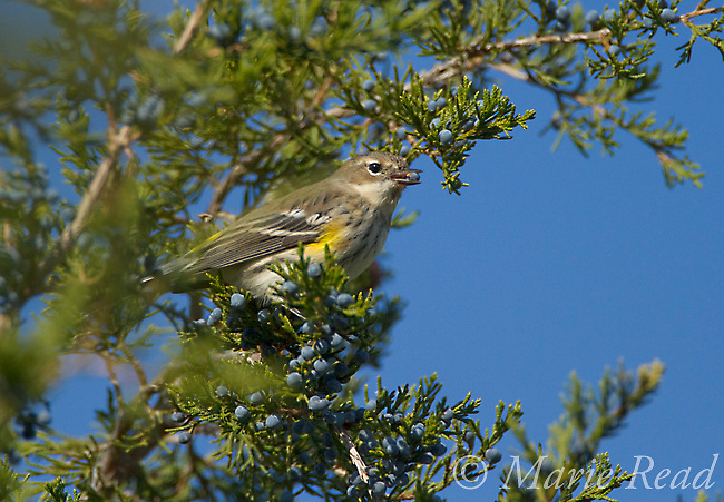 Yellow-rumped Warbler (Dendroica coronata), (eastern Myrtle form, first winter plumage), feeding on Juniper berries in autumn, Ithaca, New York, USA