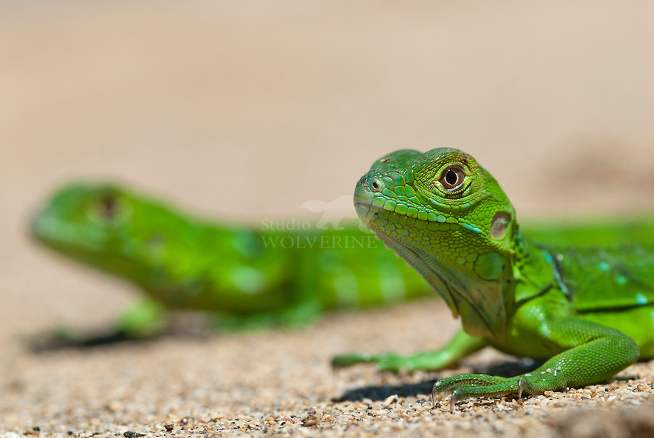 Groene leguaan (Iguana iguana)Groene leguaan (Iguana iguana)