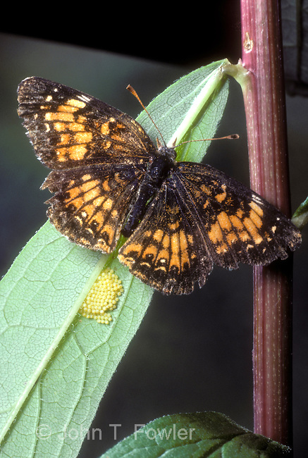 Harris's Checkerspot Butterfly, Chlosyne harrisii, laying eggs