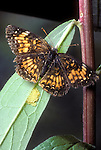 Harris's Checkerspot Butterflies