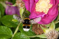 Dunkle Erdhummel, im Flug, Anflug, Blütenbesuch, Nektarsuche, Blütenbestäubung an Kartoffelrose, Bombus terrestris, buff-tailed bumble bee