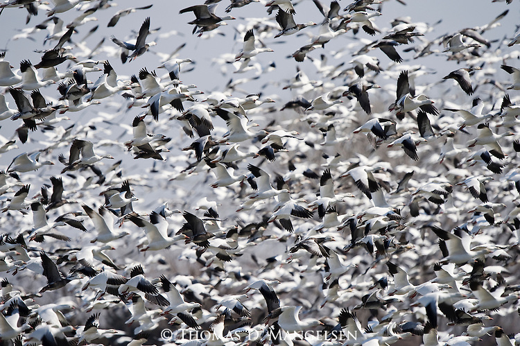 Snow Geese take off from the Platte River in Nebraska.