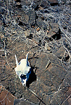 Skull of goat, Galapagos Islands, on volcanic rocks, invasive species to islands, introduced by settlers,