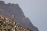 Argali (Ovis ammon) female, Sarychat-Ertash Strict Nature Reserve, Tien Shan Mountains, eastern Kyrgyzstan