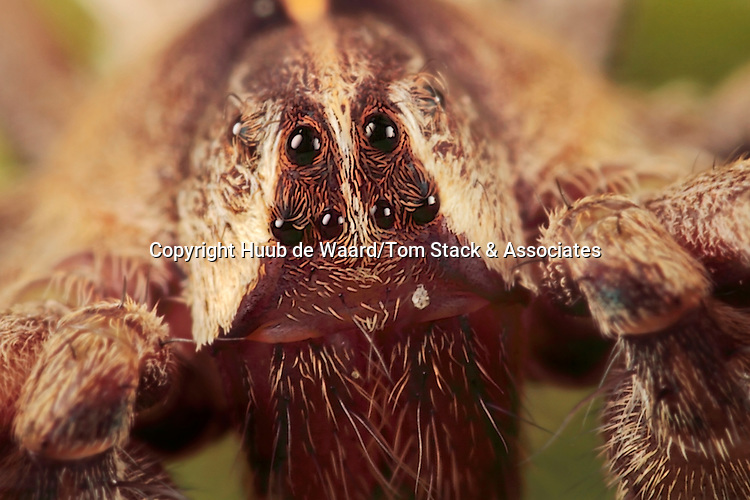 Portrait of a large hunting spider. The picture has been made with magnification factor 6 and f/11 using a Canon 7D, a Canon macro lens MP-E 65mm/f2.8 and a Canon 2x teleconverter...Spiders (order Araneae) are air-breathing arthropods that have eight legs, and chelicerae with fangs that inject venom. They are the largest order of arachnids and rank seventh in total species diversity among all other groups of organisms. Spiders are found worldwide on every continent except for Antarctica, and have become established in nearly every habitat with the exception of air and sea colonization. As of 2008, approximately 40,000 spider species, and 109 families have been recorded by taxonomists; however, there has been confusion within the scientific community as to how all these families should be classified, as evidenced by the over 20 different classifications that have been proposed since 1900 (source: Wikipedia).