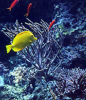 Stock photo: Yellow tang fish of pacific great barrier reef type swimming near seaweeds in the Georgia Aquarium, Atlanta, US.