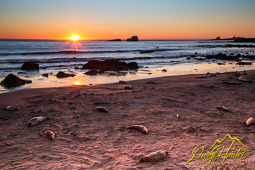 Seals at sunse on a San Simeon beach at sunset