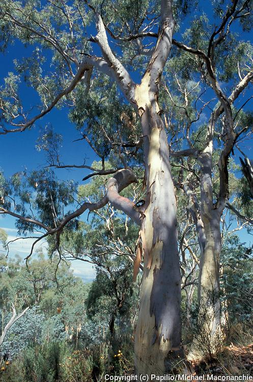 Scribbly Gum , Eucalytus rossii, Australia, Inland Scribbly Gum, Western Scribbly Gum, Snappy Gum or White Gum