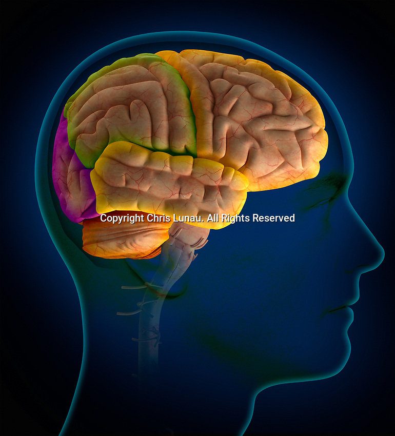Computer generated biomedical illustration of the lobes of the human brain inside of man's head