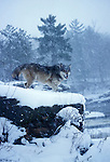 Timber or Grey Wolf ( Canis Lupus ) - Minnesota  USA  .wolf on precipice in snow storm.USA....