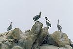 Brown pelican, Monterey Peninsula, California