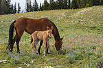 A young foal stays close to its mother as she grazes in a field of wildflowers in the Pryor Mountains, Montana.