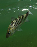 Stripe Bass