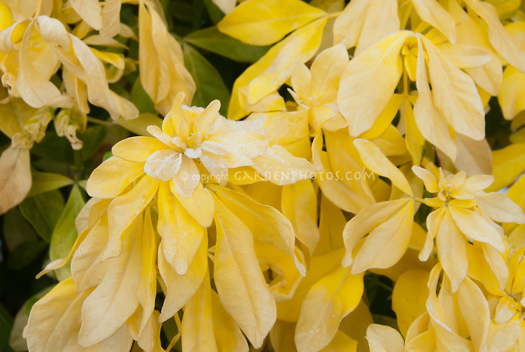 Choisya Sundance yellow foliage plant shrub with frost in early winter . Rime on edges