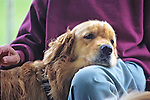 Golden Retriever Resting On Owners Lap