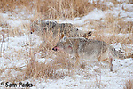 Coyote pair in winter. Yellowstone National Park, Montana.