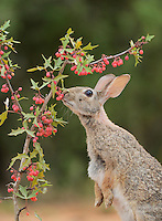 Eastern Cottontail (Sylvilagus floridanus), adult eating Agarita (Berberis trifoliolata) berries, South Texas, USA