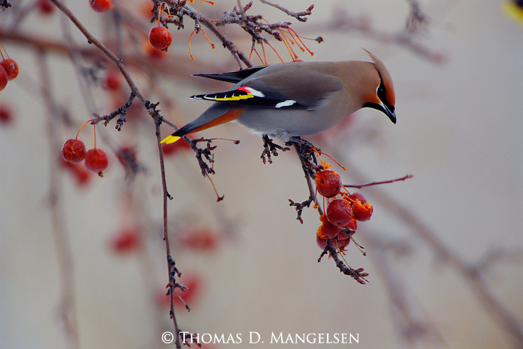 A Bohemian waxwing perches on a crab apple tree branch devouring the rich fruit of the tree in Jackson Hole, Wyoming.
