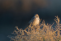 578830013 a wild sage sparrow amphispiza belli nevadensis perches on a sagebrush branch in kern county california