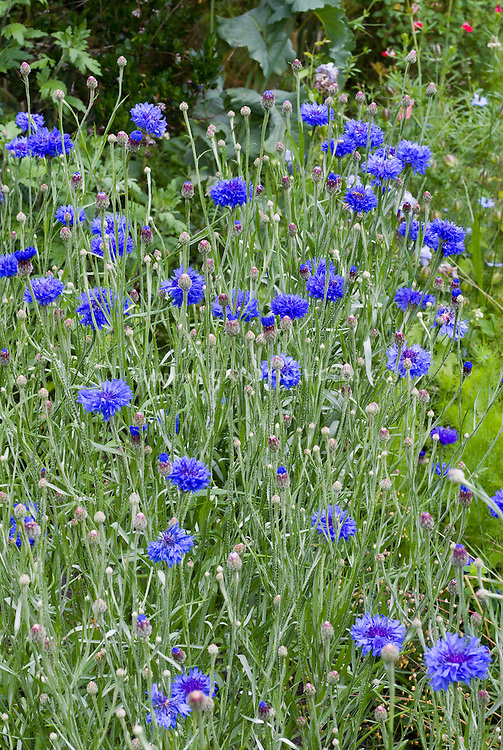 Centaurea cyanus 'Blue Boy' bachelor buttons flowers