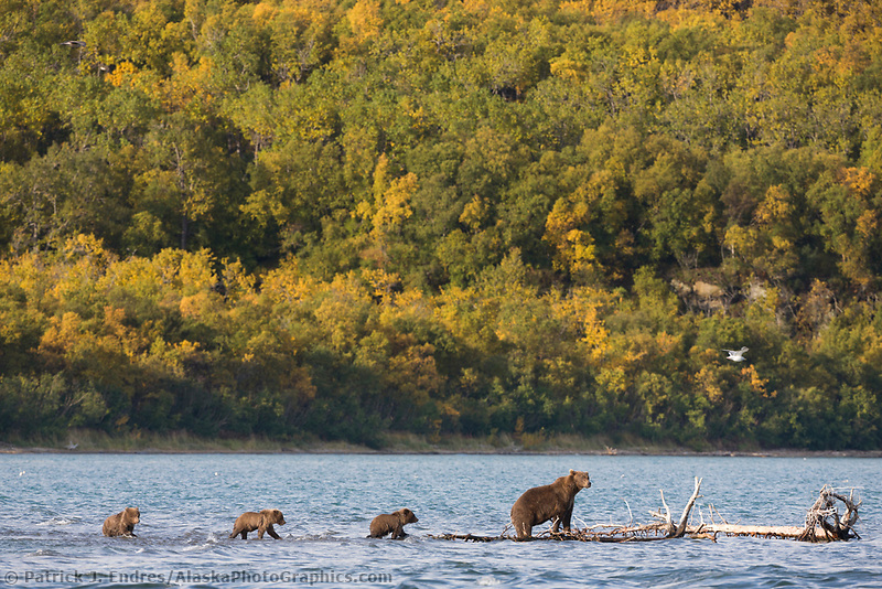 Brown bear sow and triplet spring cubs in Naknek lake, Katmai National Park, Alaska.