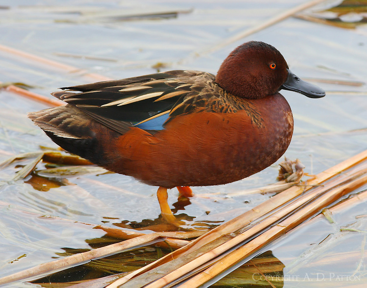 Adult mn teal in breeding plumage