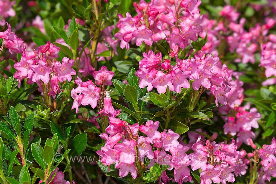 Bewimperte Alpenrose, Behaarte Alpenrose, Almrausch, Rhododendron hirsutum, Hairy Alpen Rose, Rhododendron pubescent, Rhododendron cilié