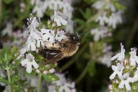 Sandbiene, Sand-Biene, Andrena nitida, Weibchen beim Blütenbesuch auf Thymian, Nektarsuche, Blütenbestäubung, Pollenhöschen, Andrenidae, Sandbienen, mining bees, burrowing bees, mining bee, burrowing bee