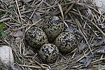 Killdeer (Charadrius vociferus) nest containing four eggs