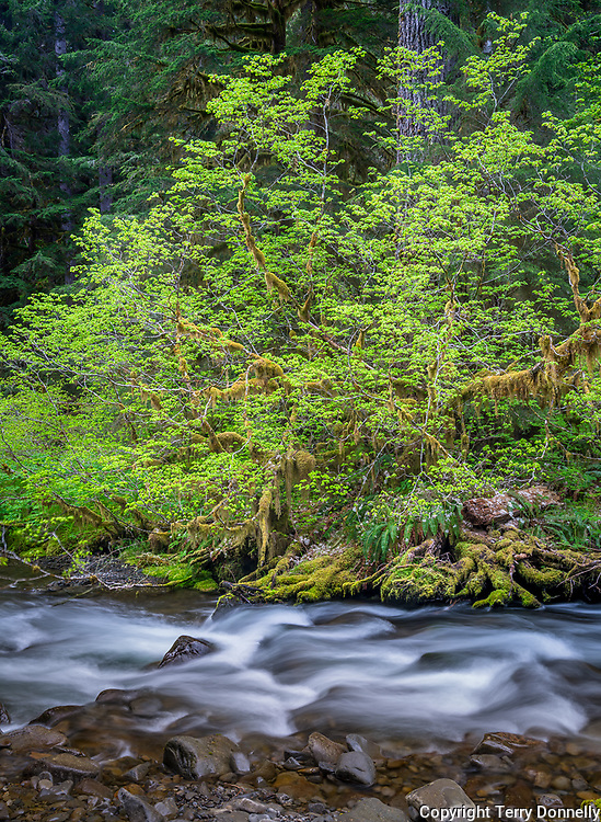 Olympic National Park, WA:<br /> Vine maple in early spring along the flowing Sol Duc river
