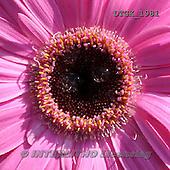 Gisela, FLOWERS, BLUMEN, FLORES, photos+++++,DTGK1981,#f#