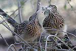 roadrunners nesting in Palm Desert