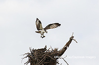 00783-01803 Osprey (Pandion haliaetus) in flight to nest with food Cruickshank Sanctuary - Brevard County, FL