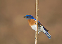 Eastern Bluebird (Sialia sialis), male perched on reed Sinton, Corpus Christi, Coastal Bend, Texas, USA