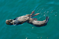 Southern sea otter, Enhydra lutris nereis, pup nursing, Monterey, California, USA, Pacific Ocean, national marine sanctuary, endangered species, vertical
