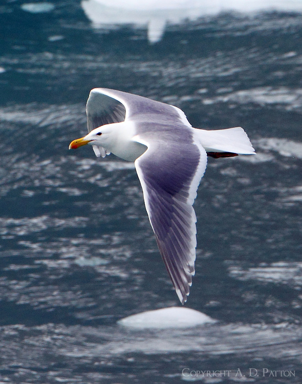 Glaucous-winged gull in flight