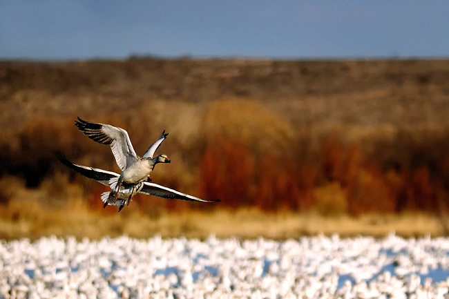 Two snow geese taking off in Bosque del Apache NWR, New Mexico