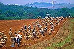 Colheita de batata no município de Três Corações em Minas Gerais. 1996. Foto de Juca Martins.